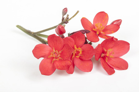 anthers: Studio shot of sprig on tiny red flowers with pollen on anthers on white