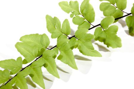frond: studio shot closeup of segment of green fern frond on white background