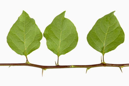 Three green isolated bougainvillea leaves with thorns on stem on white