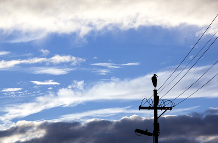 white necked: Silhouette of wooly neck stork on electricity pole with wintery cloudy background Stock Photo