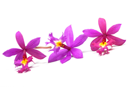 centres: Row of three tiny pink epidendrum orchids with yellow centres on white