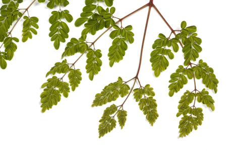 speckles: Studio shot of sprig of green leaves and yellow speckles of the Moringa tree on white