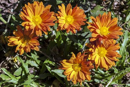 poking: Six orange chrysanthemum flowers poking through green grass in garden