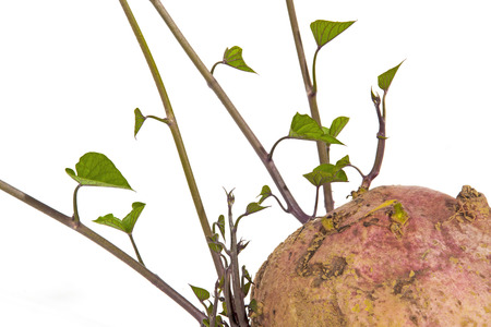 Close up studio shot of colorful sprouting sweet potato shoots and green leaves on white background Imagens