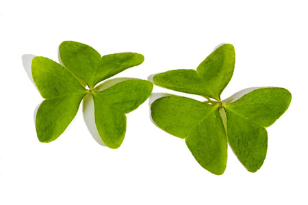 three leaf: Studio shot of two natural green three leaf clovers on white background
