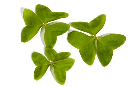 three leaf: Studio shot of natural  green three leaf clovers on white background