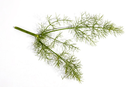 foeniculum: Above studio  shot of three green  stems and leaves of fennel plant on white background