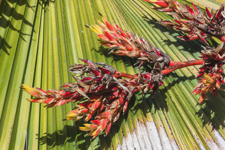 palm frond: Palm frond with dying flowers as a result of drought