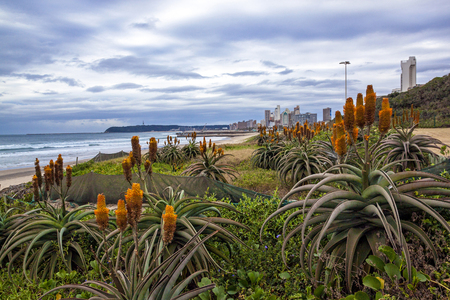 Orange aloes and plants growing on rehabilitated dunes against city skyline in Durban, South Africa Stock Photo