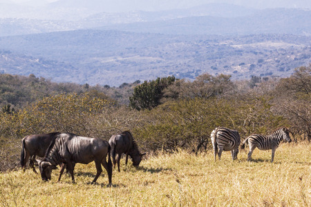 Wildebeest and Zebra on grassy hillside overlooking hills and valleys of winter landscape in South Africa Stock Photo