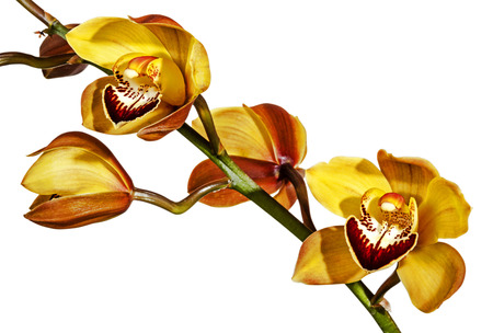 close uo: close uo studio shot of green stem of half-open yellow and magenta cymbidium orchid flowers on white