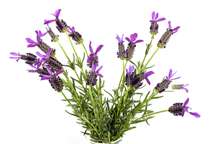 lavande: Above view studio shot of bunch of purple lavender flowers with green stems and leaves on white background