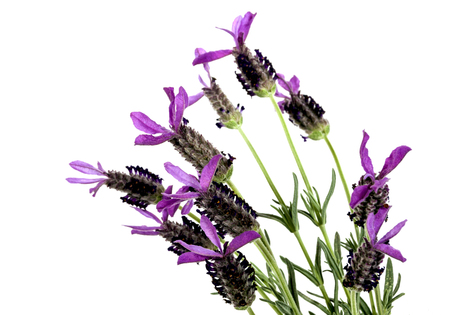 lavande: Purple french lavender flowers on greens stems with white backgound Stock Photo