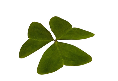 three leaf clover: Studio shot of single isolated green three leaf clover on white background