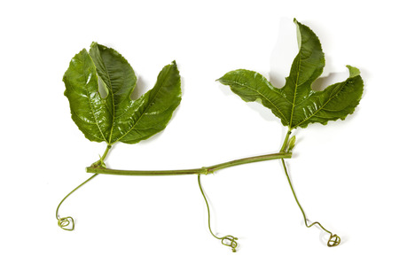 tendrils: Studio shot section of  vine two green leaves and curling tendrils of the granadilla plant on white background