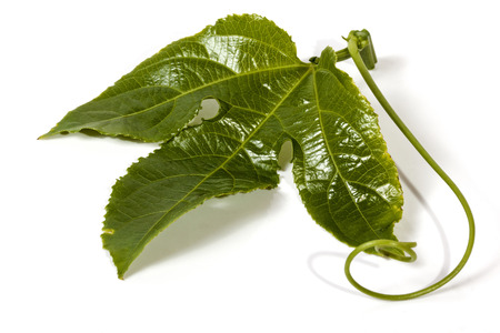 tendrils: Studio shot section of vine single green leaf and curling tendrils of the granadilla plant on white background