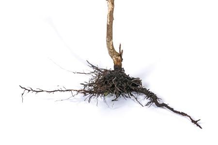 raices de plantas: Tiro del estudio de las raíces de la planta madre muerta y seca subterráneas y el suelo en el fondo blanco