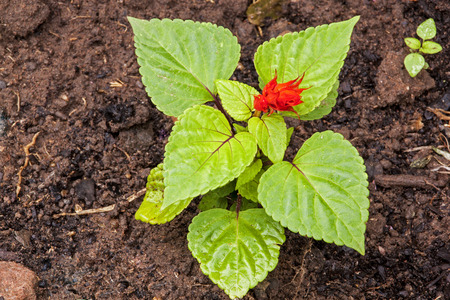 Salvia seedling with red flower in rich loam soil in outdoor garden setting Stock Photo
