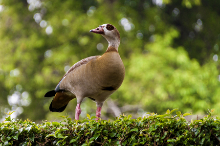 alopochen: Right looking alert colorful wild egyptian goose perched on green garden hedge  Stock Photo