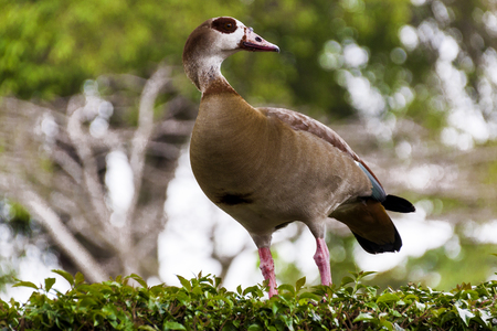 alopochen: Left looking alert colorful wild egyptian goose perched on green garden hedge