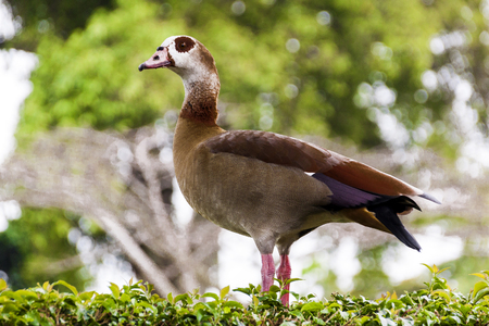 Side view of  alert colorful wild egyptian goose perched on green garden hedge