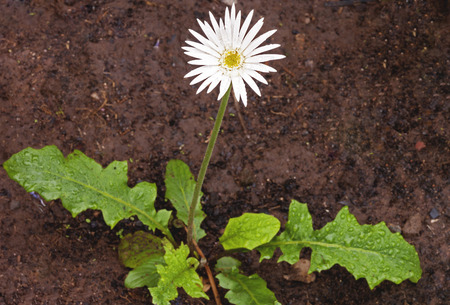 Young immature barberton daisy with white flower on long stem in garden setting