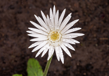 Close up of single white barberton daisy flower covered with raindrops in garden  Stock Photo