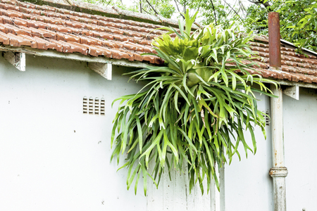 Large healthy staghorn ferm growing on eaves and gutter of tiled garden shed roof