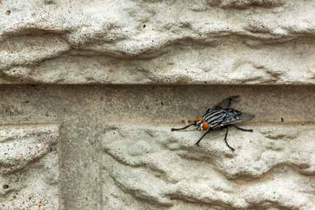 housefly: Close up of housefly insect  perched on textured and patterned  concrete  wall  Stock Photo