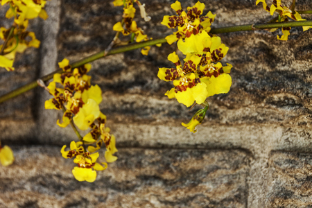 precast: Close up of stem and  bright yellow oncidium orchid flowers against precast cement walls  blurs patterns and textured background Stock Photo