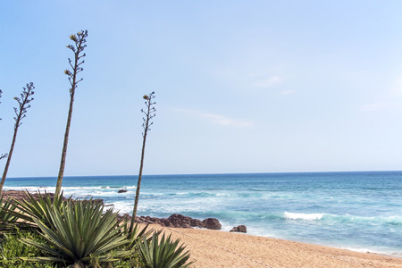 Long stems and leaves of green sisal plant against beach rocks ocean and skyline in South Africa