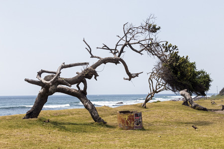 Old weathered trees on grass verge against blue ocean skyline in South Africa
