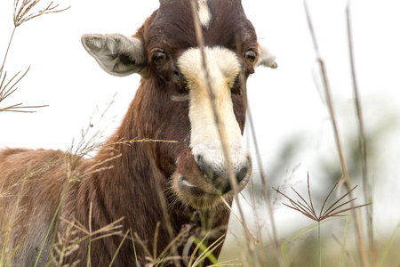 Close up of face of wild Blesbok standing amongst tall grass in Game reserve in South Africa