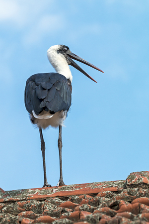 Rear view of woolly necked stork perched on top of tiled roof against blue sky Stock Photo