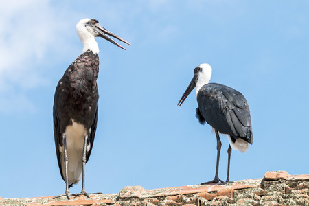 View of two woolly  necked stork perched on top of tiled roof against blue sky