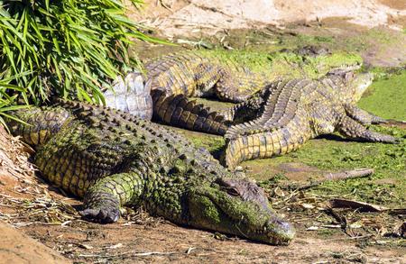 Three adult crocodiles coated with green algae basking in the heat of the sun