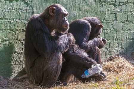 chimpances: Two unhappy chimpanzees with empty plastic bottle in wildlife sanctuary in South Afrixa