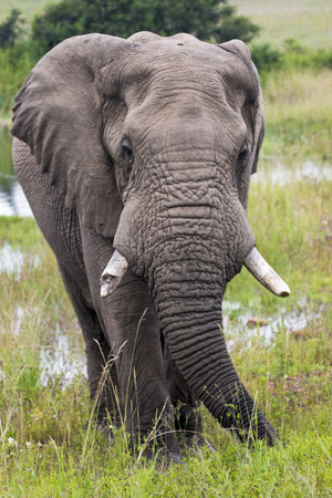 Portrait single African elephant with broken tusk drinking at water hole in lush green bush and grassland in South Africa