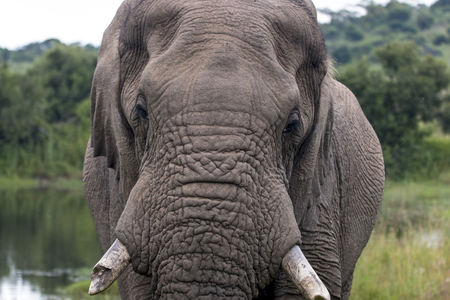 Close up single African elephant with broken tusk drinking at water hole in lush green bush and grassland in South Africa