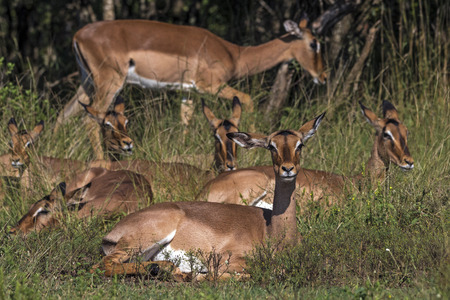 Many Impala buck resting in green grass in front of trees at Imfolozi-Hluhluwe game reserve in Zululand, KwaZulu Natal, South Africa