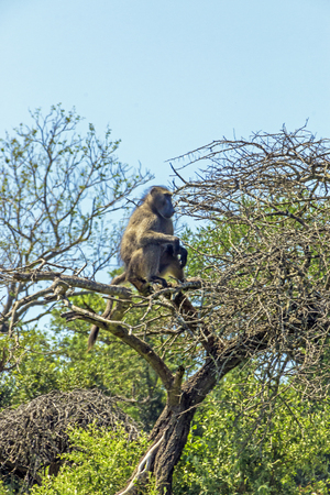 Single Baboon sitting on bushland tree branches against blue sky background at Imfolozi-Hluhluwe game reserve in South Africa