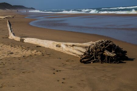 Large trees washed up at high tide as driftwood on shoreline of beach Stock fotó