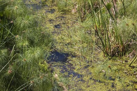 Close up of dense papyrus reeds growing in shallow water of river