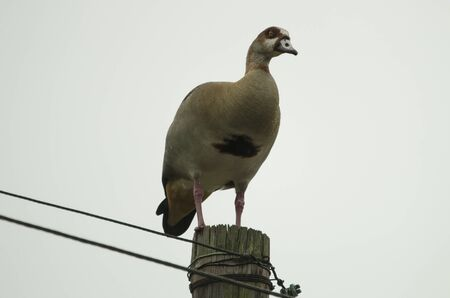 Egyptian goose perched on top of electricity pole in suburbs