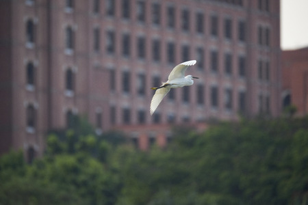 An egret changing course flying to the buildings. Stock Photo