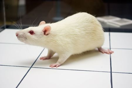 albino laboratory rat looking while on open field board during experiment closeup photo