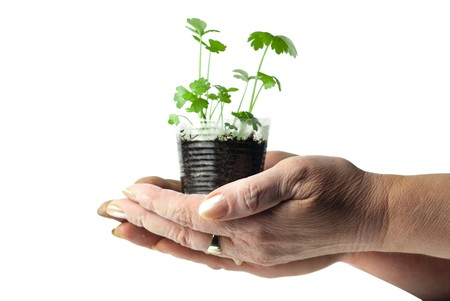 Human hands holding green plant in a transparent cup photo