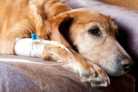 dog lying on bed with cannula in vein taking infusion Stock Photo - 6953329