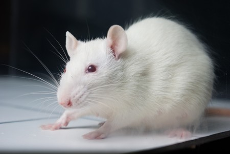 albino: white (albino) laboratory rat on board during experiment