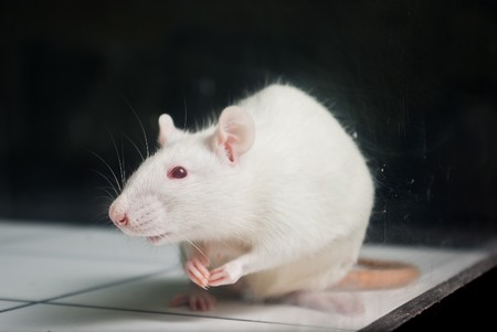 white (albino) laboratory rat on board during experiment photo